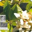 画像2: ネロリ(花) Citrus aurantium (Fl)  [プラナロム] (2)