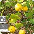 画像2: レモン(果皮) Citrus limon (Ze)  [プラナロム] (2)