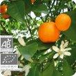 画像2: マンダリン(果皮) Citrus reticulata (Ze)  [プラナロム] (2)