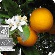 画像2: オレンジ・スィート(果皮) Citrus sinensis (Ze)  [プラナロム] (2)