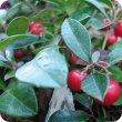 画像2: ウィンターグリーン Gaultheria procumbens  [プラナロム] (2)