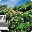画像2: ティートゥリー Melaleuca alternifolia  [プラナロム] (2)