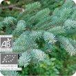 画像2: ブラックスプルース Picea mariana  [プラナロム] (2)
