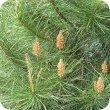 画像2: ポンデローザパイン Pinus ponderosa [プラナロム] (2)