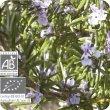 画像2: ローズマリー・カンファー Rosmarinus officinalis CT1 (Camphora)  [プラナロム] (2)