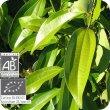 画像2: シナモン(葉) Cinnamomum zeylanicum (Fe)  [プラナロム] (2)