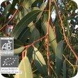 画像2: ユーカリ・スミティー Eucalyptus smithii  [プラナロム] (2)