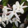 画像2: ジャスミン (Abs.) Jasminum officinalis (Abs.)  [プラナロム] (2)
