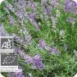 画像2: ラベンダー・アングスティフォリア Lavandula angustifolia  [プラナロム] (2)